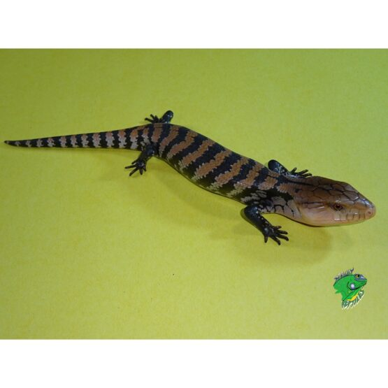Merauke Blue Tongue Skink baby