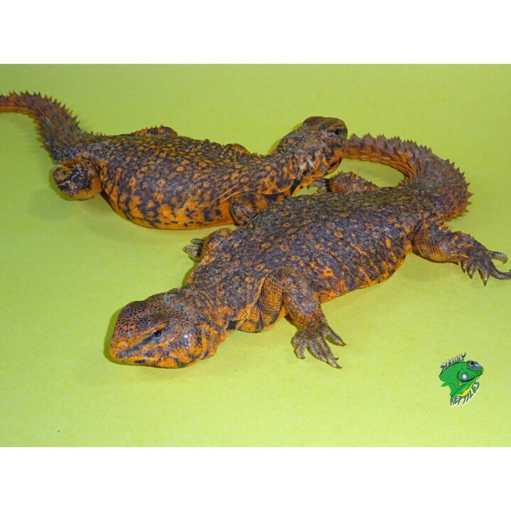 Red Niger Uromastyx exception colors