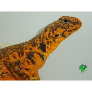 Red Niger Uromastyx exception face