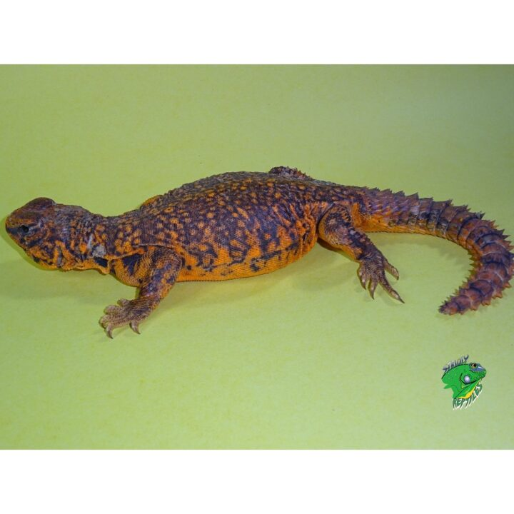 Red Uromastyx Exceptional color