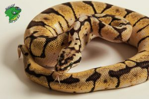 Buy Snakes Online | Live Snakes For Sale | Wholesale Snake Suppliers