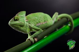 Pet Reptiles for Sale Online