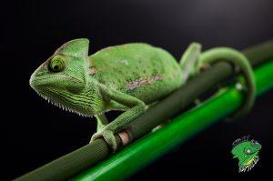 Pet Reptiles for Sale Online