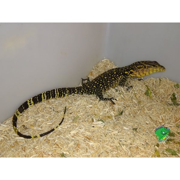 Cumingi X Salvator Water Monitor full body