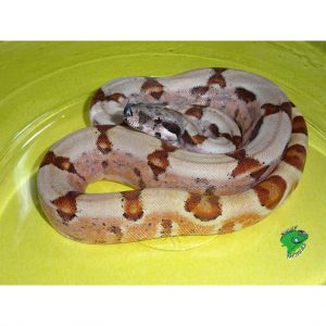 DH Sunglow Pastel Boa baby