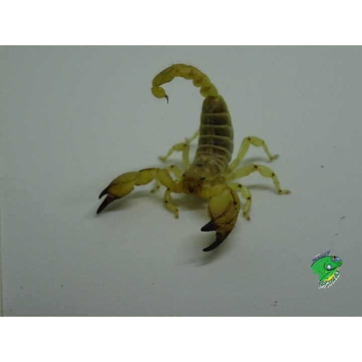 Israeli Gold Scorpion