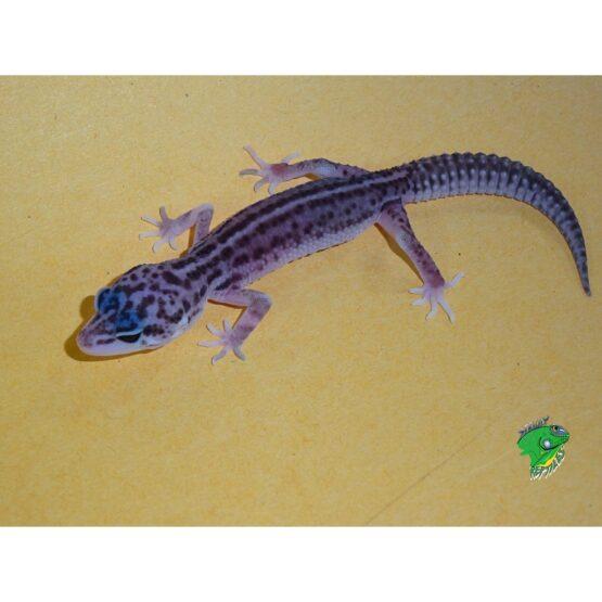 Mac Super Snow Leopard Gecko baby