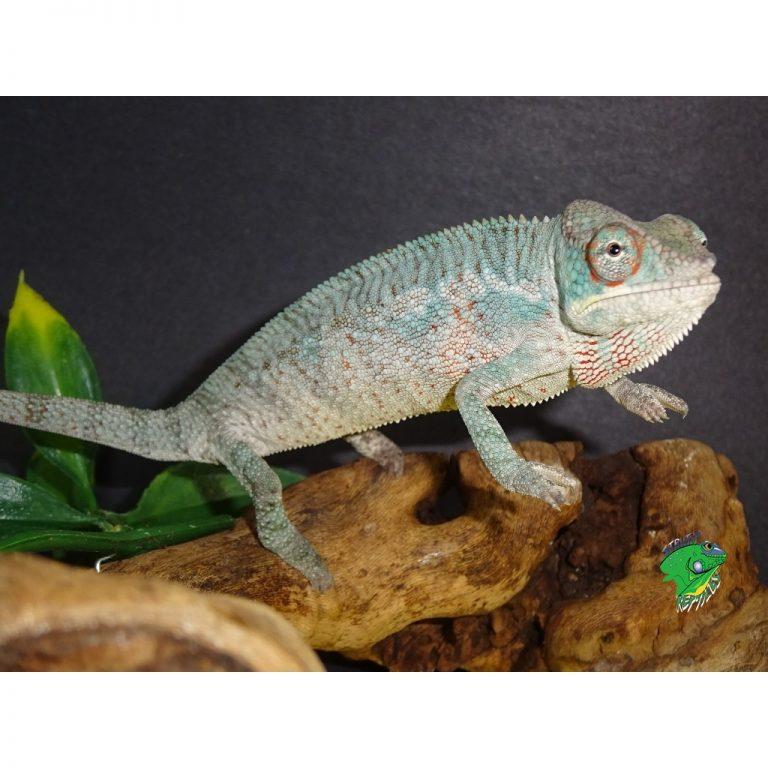 Panther Chameleon Ambanja male juvenile