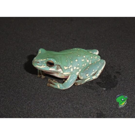 Snow Flake Whites Tree Frog