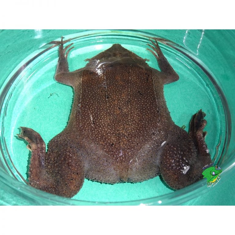 Suriname Toad big butts