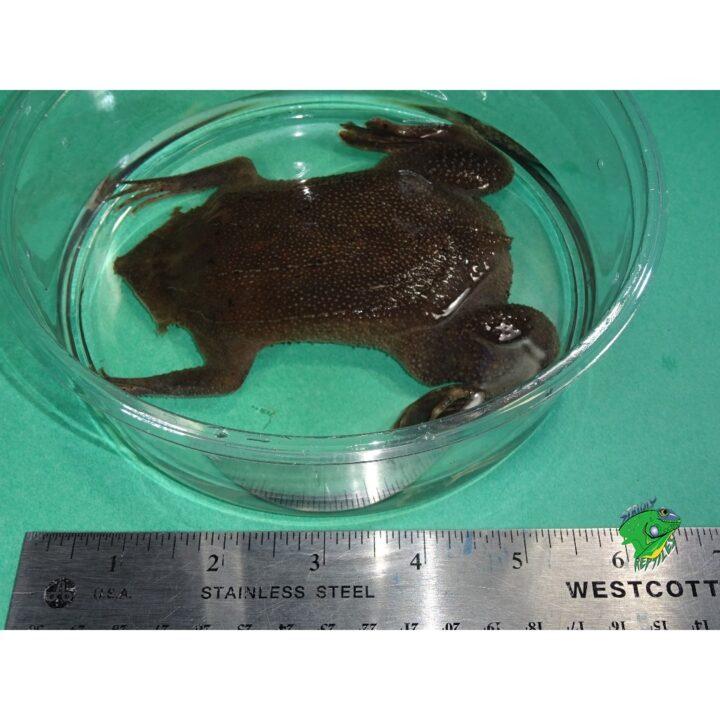 Suriname Toad size big