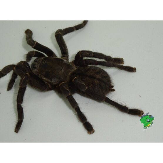 Thai Tiger Tarantula