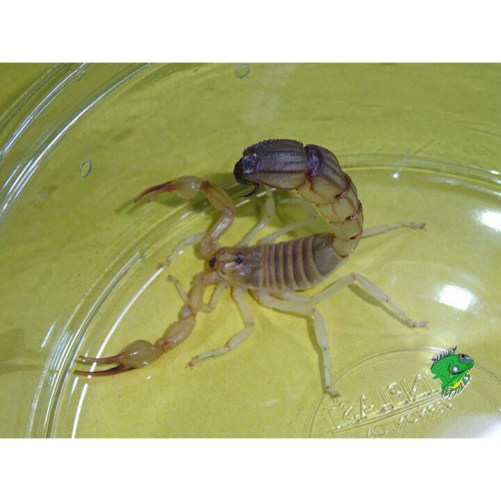 Tunisian Fattail Scorpion