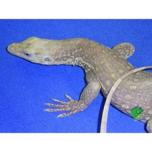 Albino Water Monitor close up