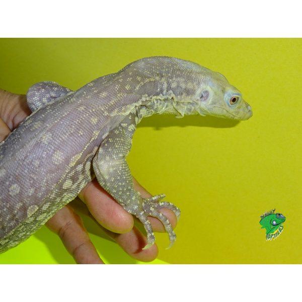 Albino Water Monitor