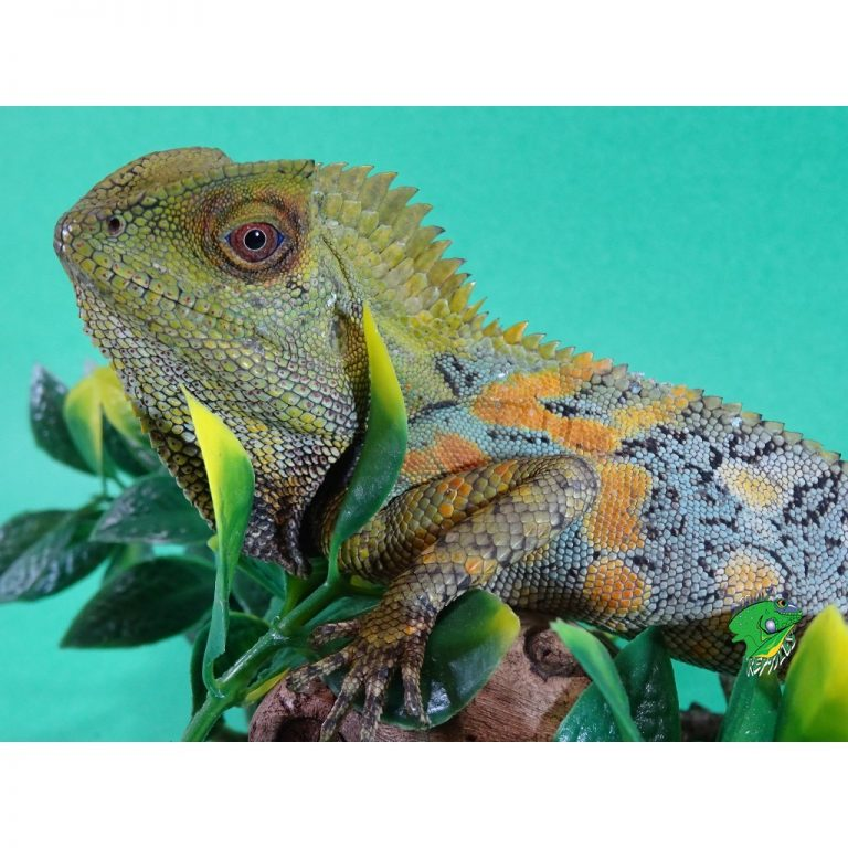 Crested Dragon adult