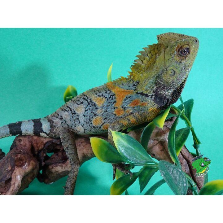 Crested Dragon full length