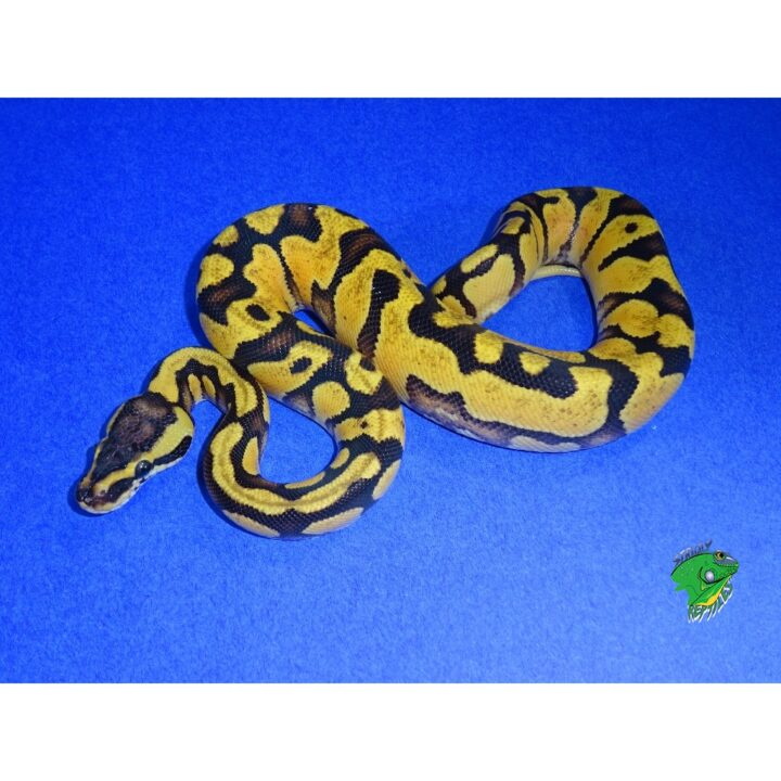 Pastel Enchi Yellow Bellied Ball