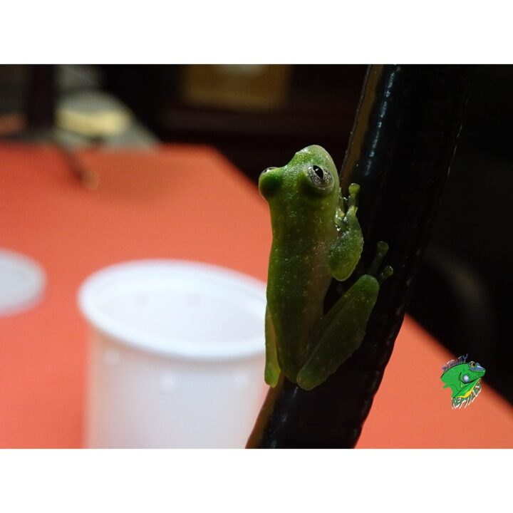 Powdered Tree Frog on photo light