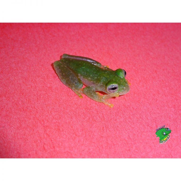 Powdered Tree Frog