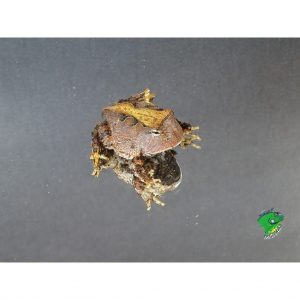 Suriname Horn Frog baby on mirror