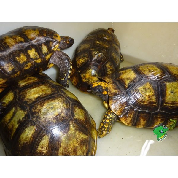 Yellow Foot Tortoise bath3
