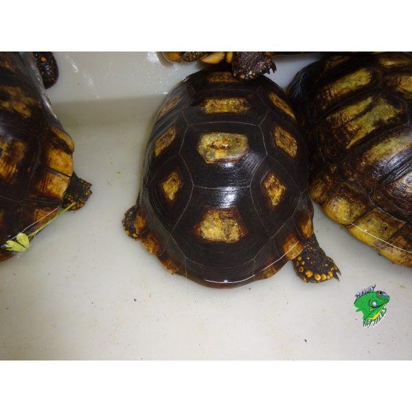 Yellow Foot Tortoises bath2