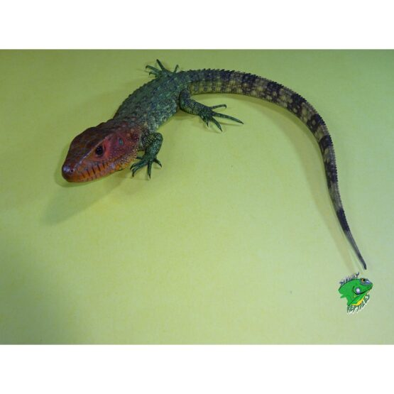 Caiman Lizard baby