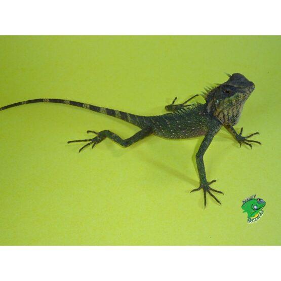 Natal's Mnt Horn Lizard
