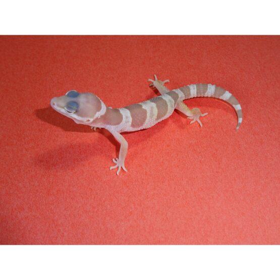 Chocolate Albino Leopard Gecko baby