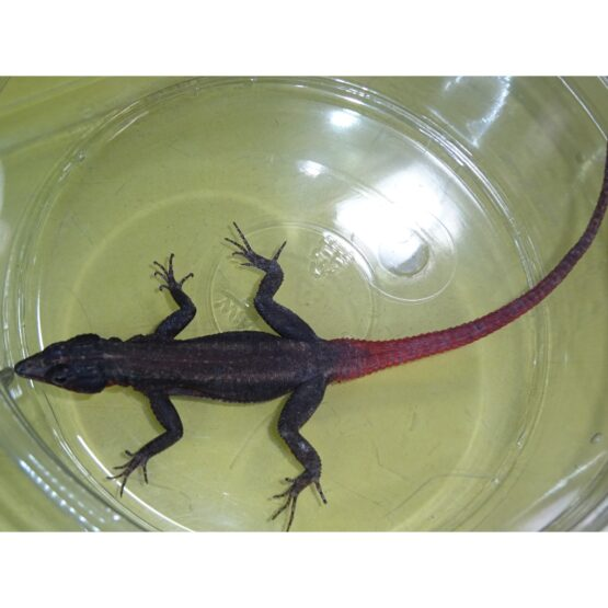 Comman Flat Rock Lizard male