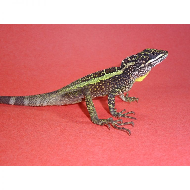Dragon Agama 2