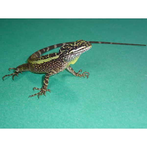 Dragon Agama on green