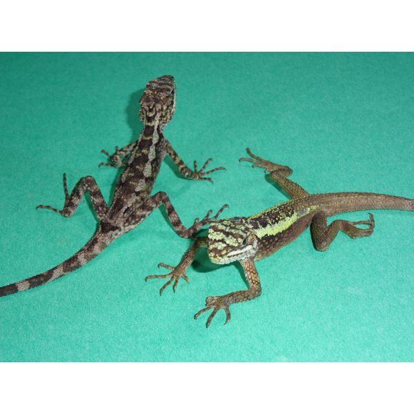 Dragon Agamas