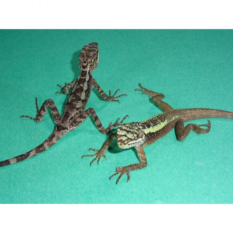 Dragon Agamas