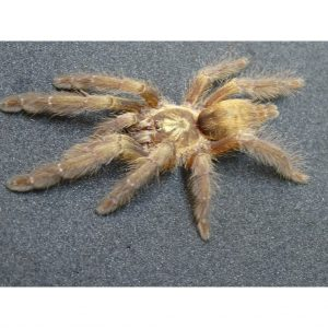 Equator Tree Spider 2 to 3 inch