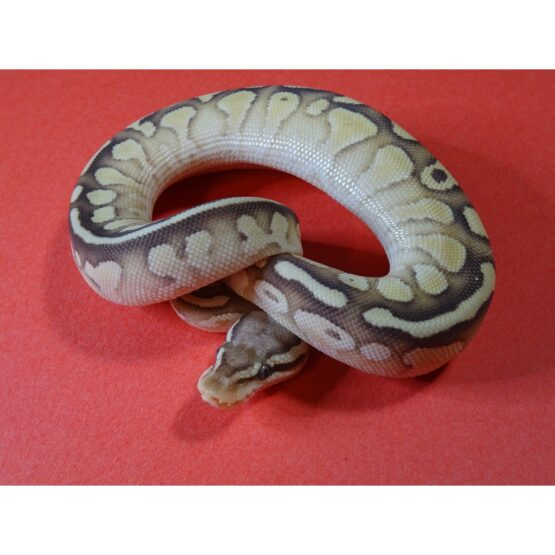 Pastel Nuclear Ball Python baby
