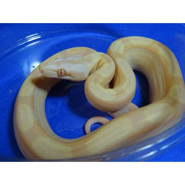 Albino Motley Boa baby