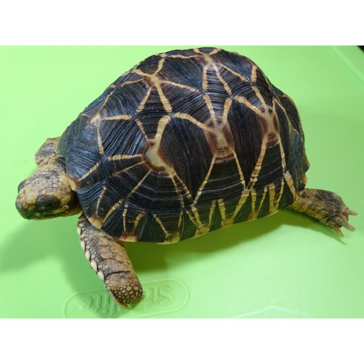 Burmese Star Tortoise male side