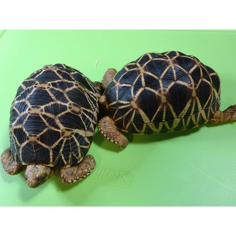 Burmese Star Tortoises females