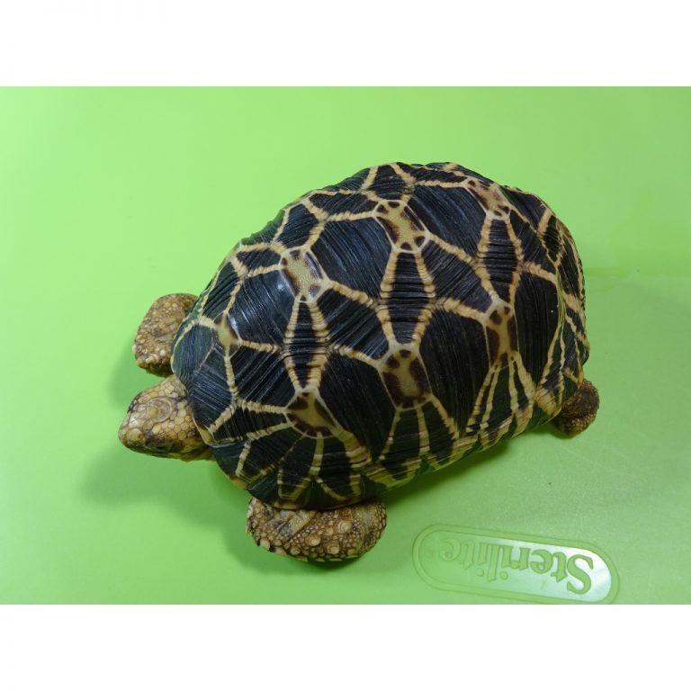 Burmese Star tortoise female