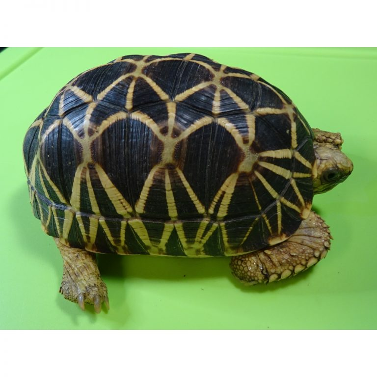 Burmese Star tortoise male