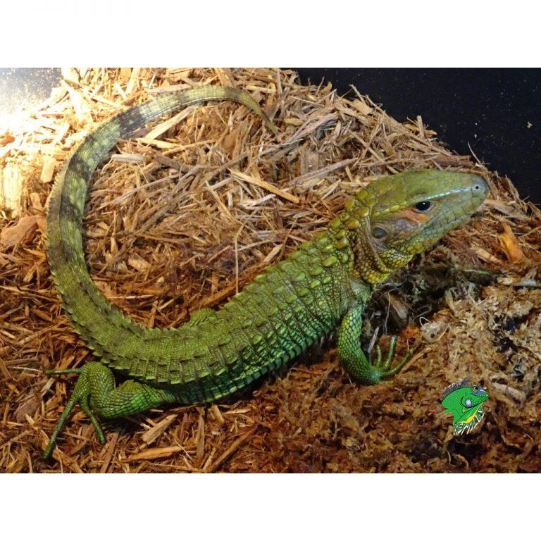 Caiman Lizard juvenile