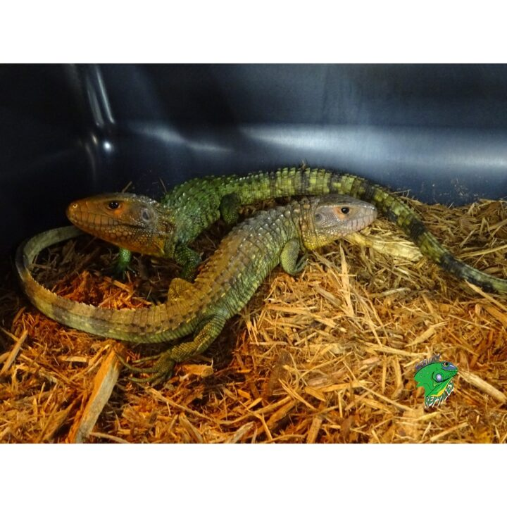 Caiman Lizards juveniles
