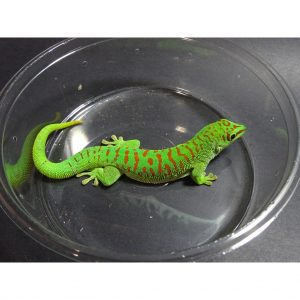 Crimson Day Gecko adult 1