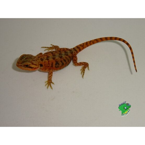 Red Hypo Translucent Bearded Dragon baby