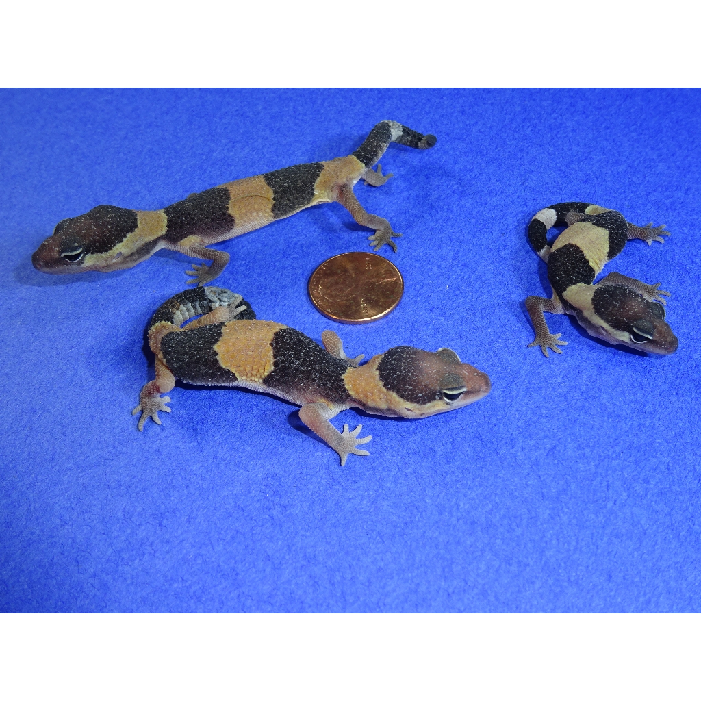 Fat Tail Geckos babies
