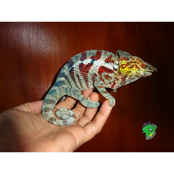 Panther Chameleon Tamatave male