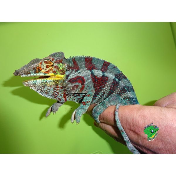 Panther Chameleon Tamatave on green