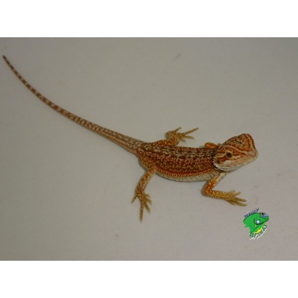Dunner Bearded Dragon baby